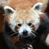 Adopt-an-Animal: Red Panda