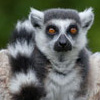 Adopt-an-Animal: Ring-tailed Lemur