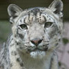 Adopt-an-Animal: Snow Leopard