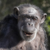 Your Adopt-an-Animal donation will be used to support these adaptable apes and further the San Francisco Zoological Society's mission to connect people to wildlife, inspire caring for nature, and advance conservation action.