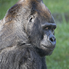 Your Adopt-an-Animal donation will be used to support these great apes and further the San Francisco Zoological Society's mission to connect people to wildlife, inspire caring for nature, and advance conservation action.