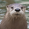 Adopt-an-Animal: North American River Otter