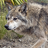 Adopt-an-Animal: Mexican Gray Wolf