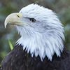 Adopt-an-Animal: Bald Eagle