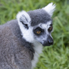 Adopt-an-Animal: Maki the Ring-Tailed Lemur